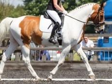 17.1hh 15yrs old coloured warmblood gelding for sale