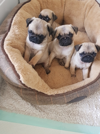2 KC Pedigree Boy Pugs