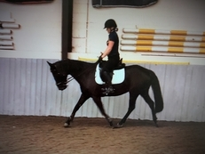 Beautiful Black 7 year old Warmblood mare by Donnershon