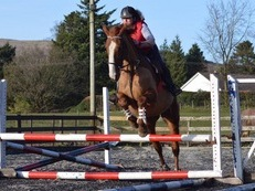 Irish Sports Horse Mare. 16.2hh. 11yo. Green Book