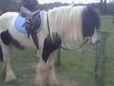 3 year old, 14. 2hh cob gelding