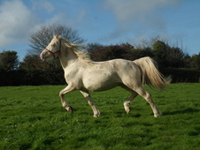 Stunning licensed cremello welsh part-bred stallion with great po...