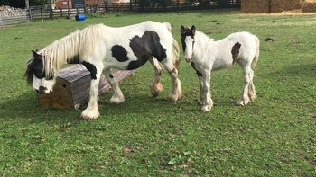 2 piebald mares with foals at foot