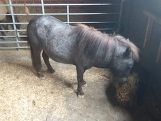 Registered British miniature spotted pony