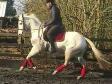 STUNNING 14. 2hh 7 yo Connemara Serious Sports Pony