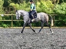 IDxTB Sport Horse GB mare 17.1hh by Primative Star