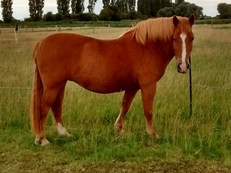 13.2 Cob-cross mare for share/loan or sale