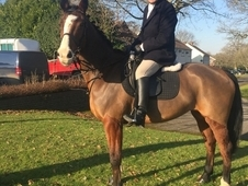 Irish Sport Horse, Mare, 16. 1hh has Hunted this season, Clover H...