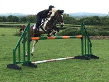 13. 2hh Pony Club/Competition Pony For sale