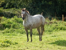 Fabulous Registered Appaloosa Mare