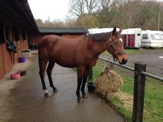 16.1 Thoroughbred mare 16yrs old for sale/loan