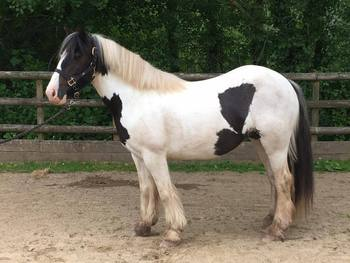 13.2hh Sweet cob mare - Charity rehome