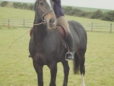 For sale: 16. 1hh 9yo Shire x TB bay mare
