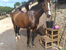 15'2 mare for loan/share, Broadsands in Devon.