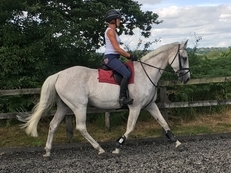 16.1 Quality Grey Mare