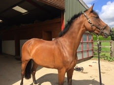 Corrado/Landgraf top quality broodmare