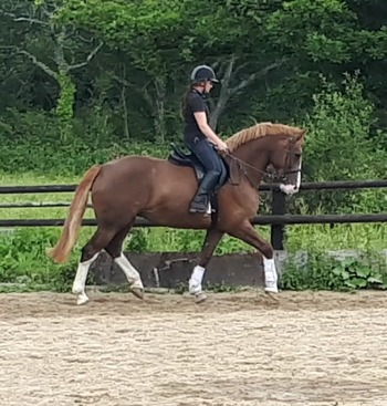 Carrogriver Celtic Dancer RID flashy 17hh middleweight mare