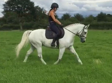 *******Handsome 14.2hh Connemara *******