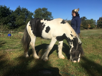Piebald cob yearling gelding
