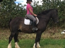 handsome 16HH 8yr old confidence giving bay Cob Gelding.