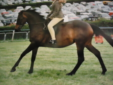 Arab / Connemara Homebred Mare