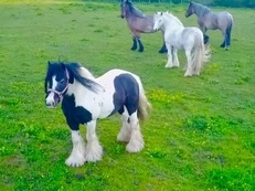 Junior Piebald traditional heavy cob 13.2 ride and drive 11YO