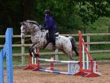 Stunning Allrounder pony/riding club/competition/hacking/funri de...
