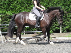 SUPER RIDING CLUB AND DRESSAGE HORSE