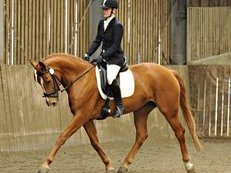 Pink papered Hanovarian broodmare for sale