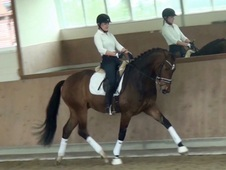 Exquisite 16. 2H Dressage Gelding