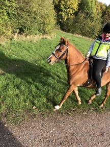 **REDUCED**12.3 Bombproof British Riding Pony **REDUCED**
