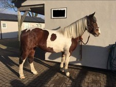 Pretty Coloured Welsh Section D X with Warmblood 3 yrs Mare Great...