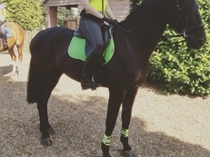11years old 17.2hh KWPN Gelding