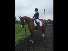 15hh Potential Broodmare