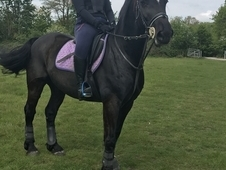 Handsome Welsh Section D Gelding
