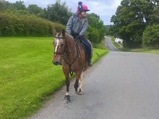 14 hd Welsh Section D 8 Yr Old Gelding