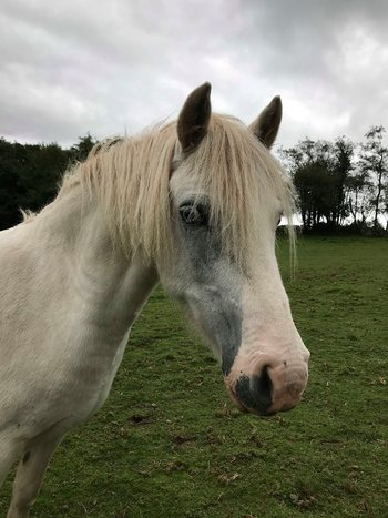 12.2hh companion pony - Charity re-home