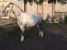 Grey Welsh A gelding