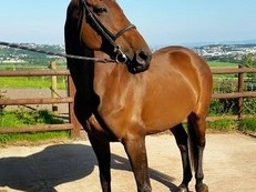 16hh bay mare for Loan - Bristol/North Somerset