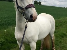 Beautiful 13hh Welsh B x Mare for full loan