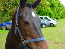 14. 2h dark bay mare for sale New forest X