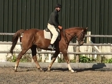 Handsome 16.1 Chestnut Gelding