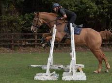 Lovely 16.3hh 5yr old Gelding