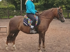 Beautiful and genuine 13hh section b mare