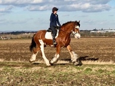 ** ABSOLUTELY STUNNING MAJESTIC CLYDESDALE **