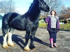 14. 2h Friesian cross
