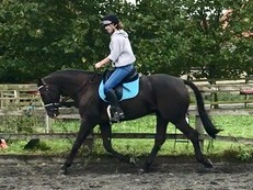Very talented SAN AMOUR X DONNERHALL gelding