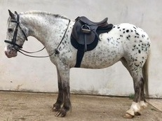 13.2 Appaloosa Mare 4 years old