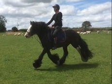 Sweep - Black Gelding