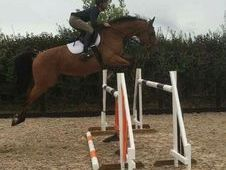 ***Reduced*** Show jumping school master